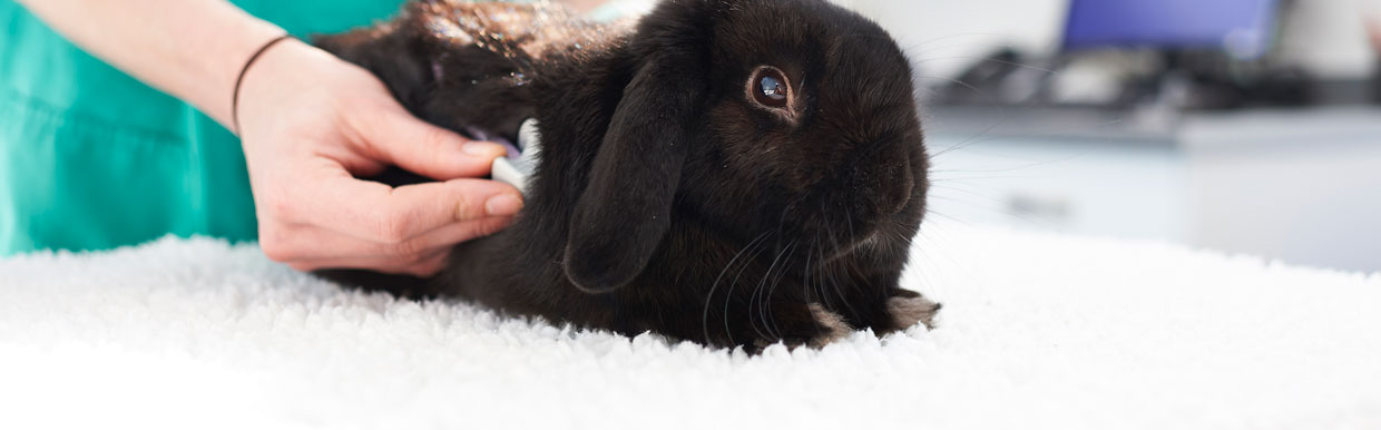 Neutering your rabbit