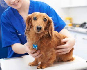 Dacshund with vet